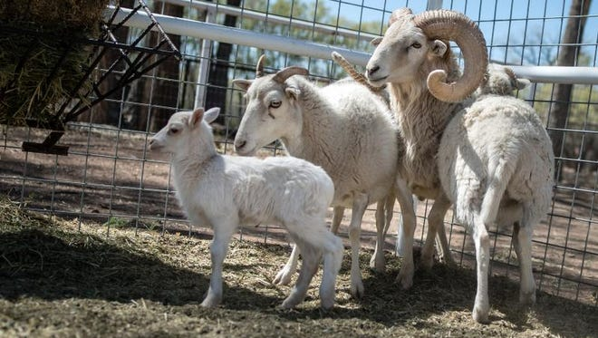 A small herd of New Mexico Dahl sheep roam in a pen at the new Gutierrez-Hubbell House exhibit on March 24, 2016. The Dahl sheep is New Mexico's only recognized heritage breed. The New Mexico Dahl is in danger of becoming extinct with only a few remaining. Bernalillo County adopted the New Mexico Dahl Sheep as its official mascot.