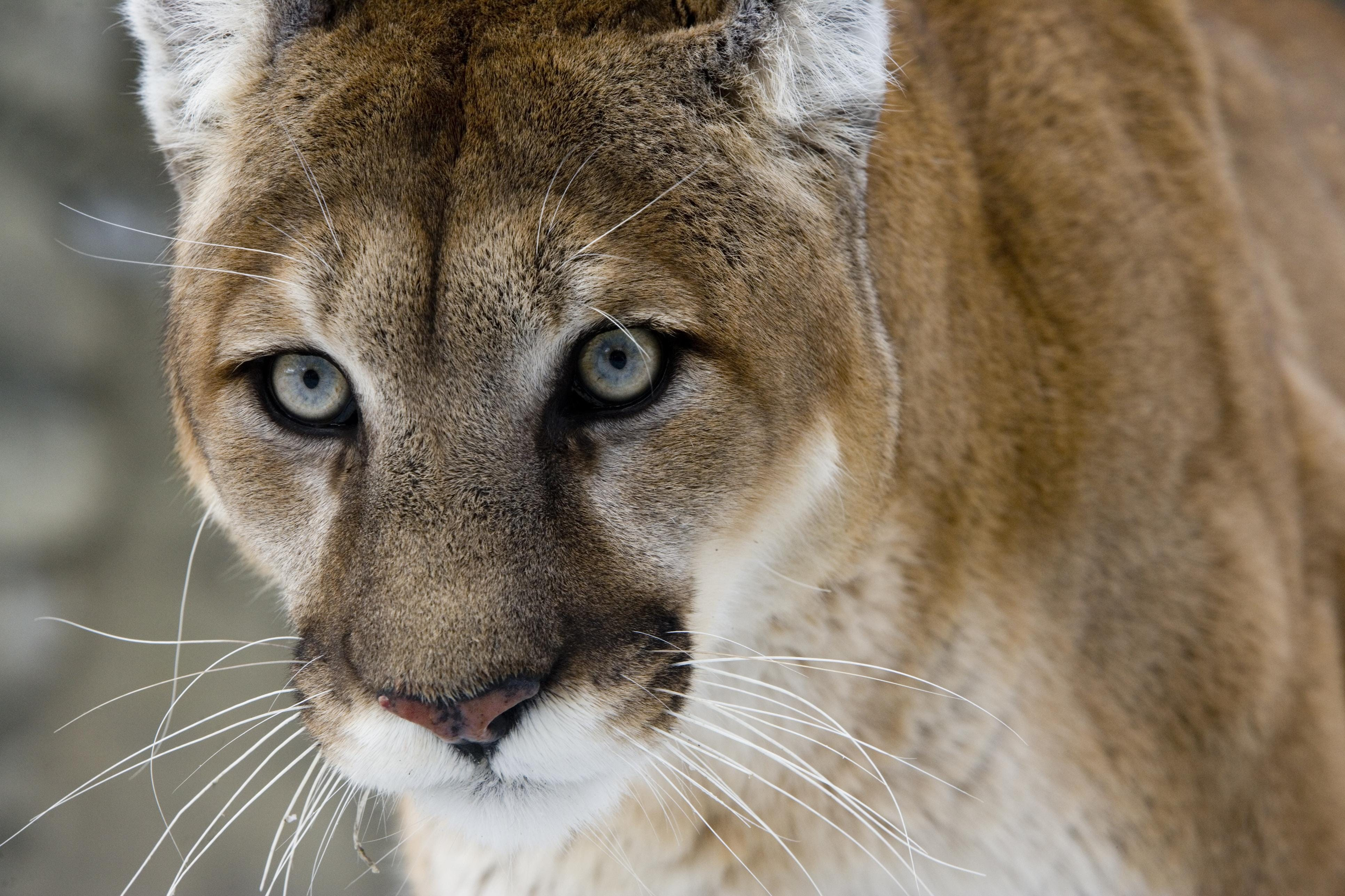 Cougars in the wild in NY? Not yet, the state says