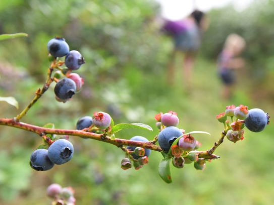 Blueberries are ripe for the picking at the Blueberry