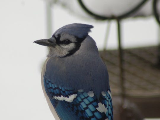 Even a Blue Jay at your backyard feeder can forecast