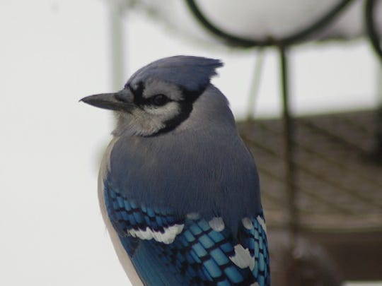 Even a Blue Jay at your backyard feeder can forecast weather.