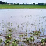 A soybean field in Hendricks County is partly covered by ponding water Tuesday, June 16. A Purdue agricultural economist estimates such flooding could cost $475 million in lost crops.