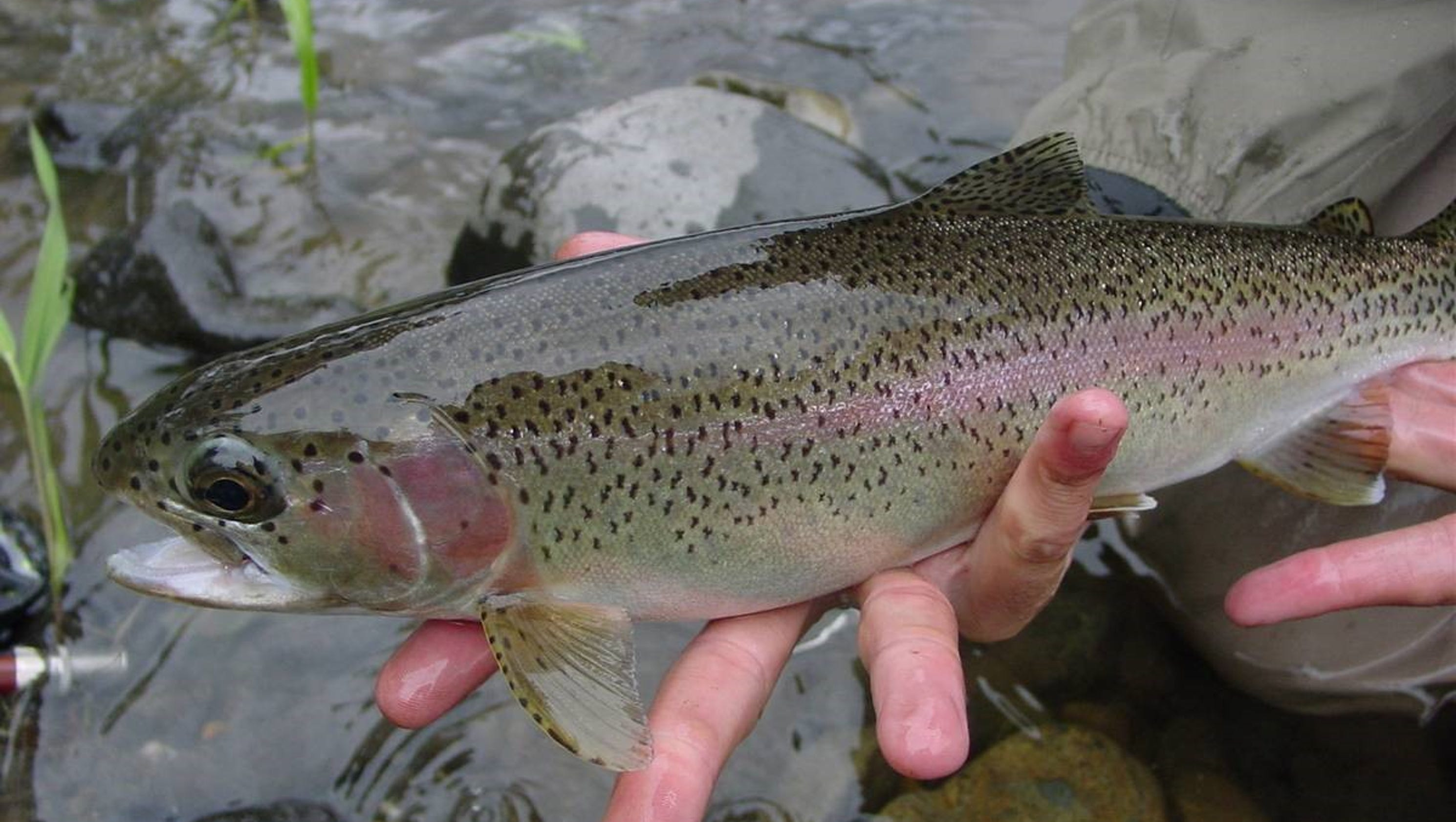 Lower raritan river stocked with rainbow trout fingerlings for Trout fishing nj