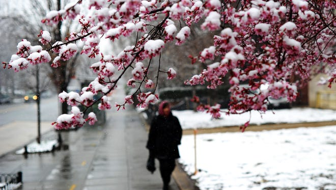 A woman walks past a cherry tree covered with snow during a spring snowfall in Washington on March 25, 2014. AFP PHOTO/Jewel SamadJEWEL SAMAD/AFP/Getty Images ORIG FILE ID: 528365940