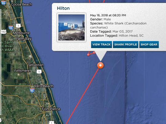 Hilton the great white shark pinged off Sebastian,