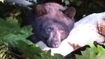 A wayward bear seen in Yonkers in May.