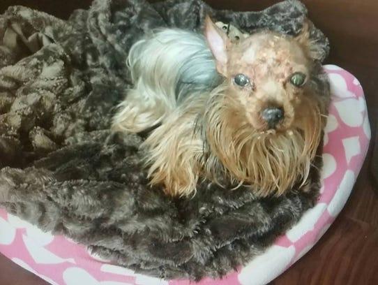 Bitty Boo traveled to work her owner, Sara Durbin,