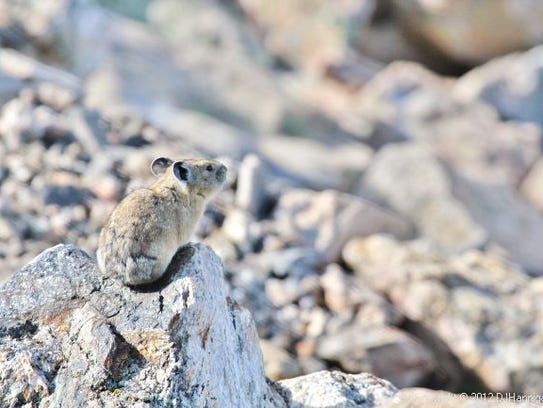 A pika sits on a rock at Rocky Mountain National Park.