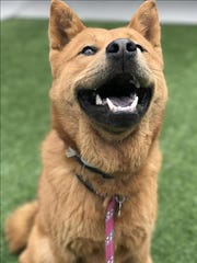 Baloo, 9-month-old male chow mix dog. No children, shy dog. No. 97852.