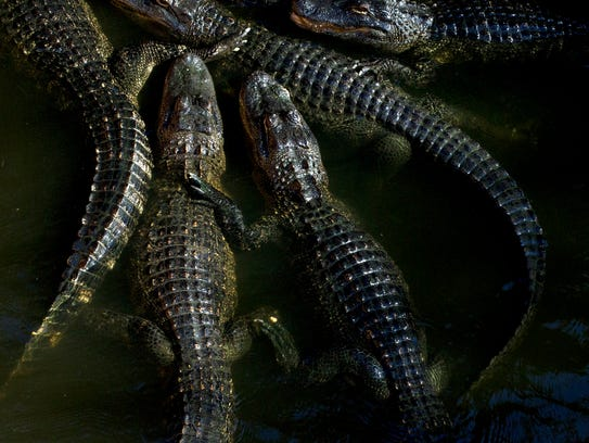 In this 2015 photo, visitors can help feed alligators