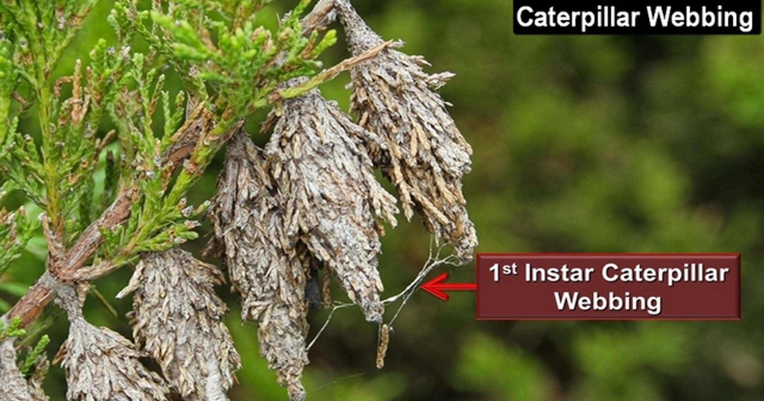 OSU Extension: Bagworms are beginning to hatch