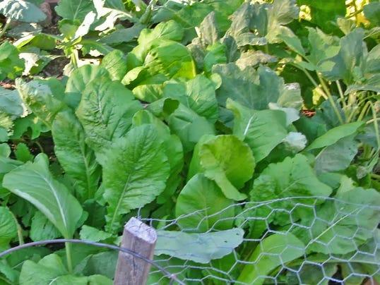 -Mixed Greens Plants.jpg_20140808.jpg