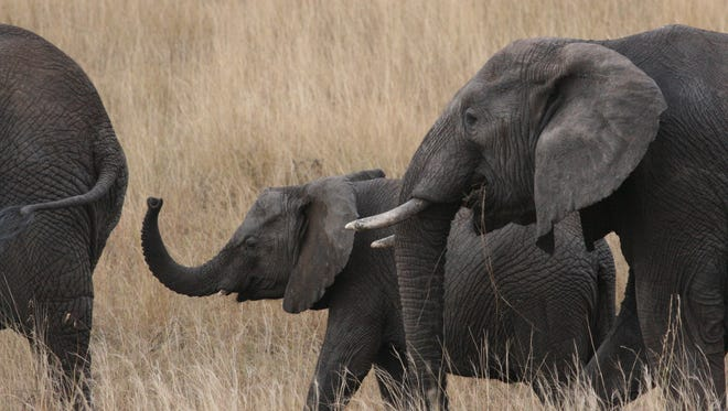 A female savanna elephant and her family in the Grumeti Reserve of northern Tanzania.