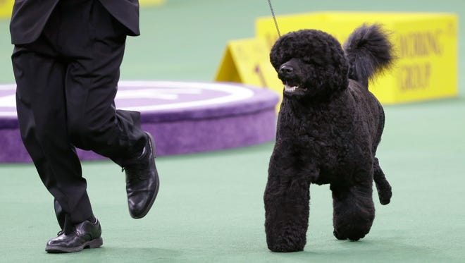 Matisse, a Portuguese water dog, competing in the working group during the Westminster Kennel Club dog show in New York on Feb. 11, 2014.