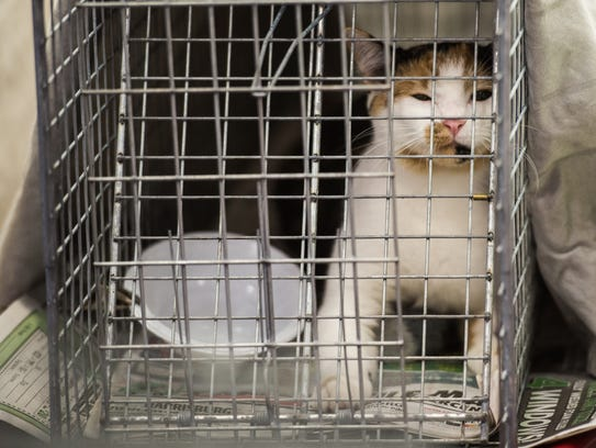 A cat recovers in the post-op area after it was spayed