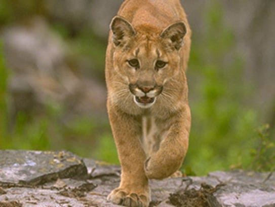 Mountain lion photo from the California Department