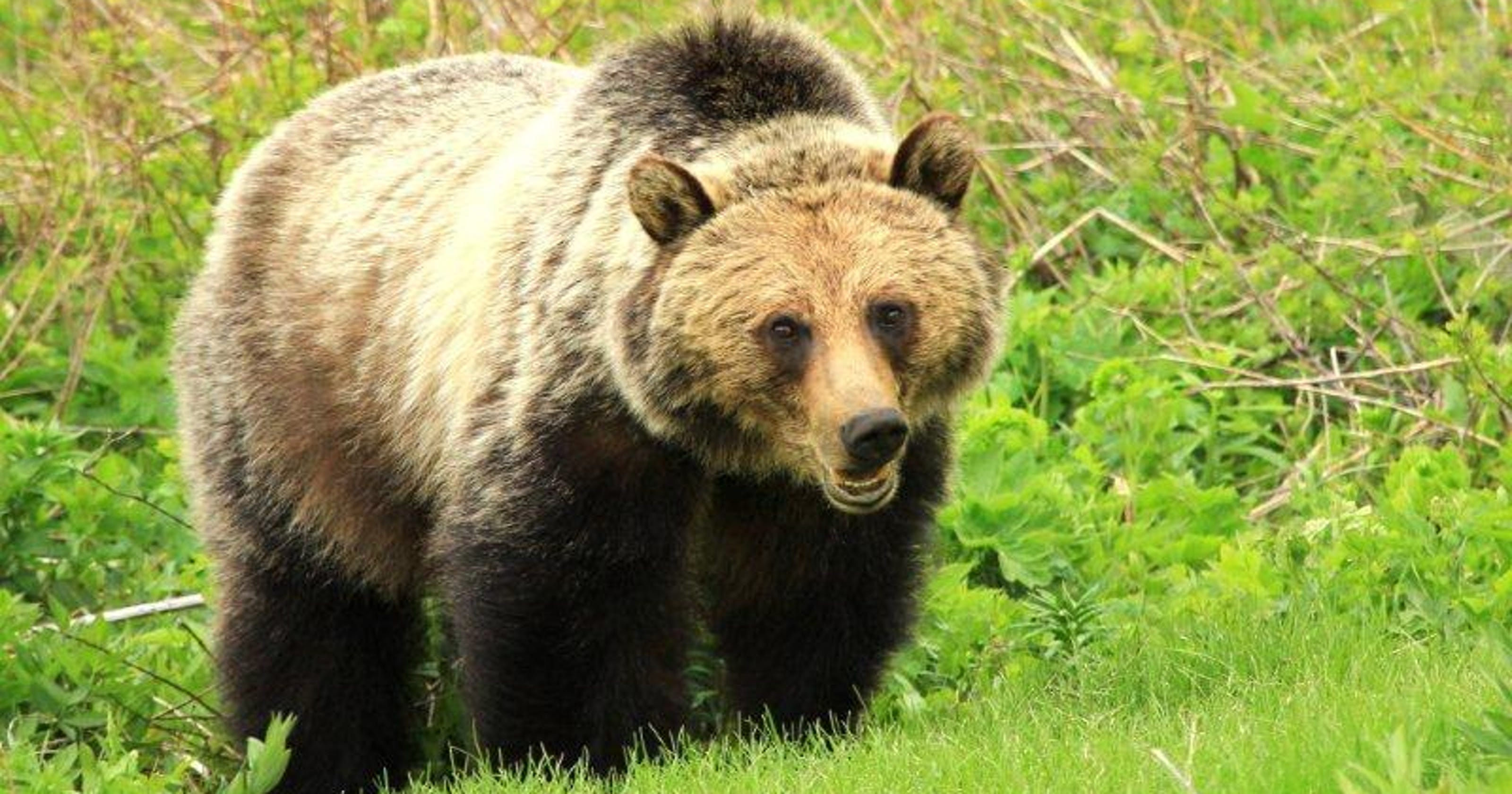 Officials Investigating After Finding Dead Grizzly