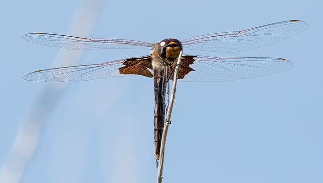 A dragonfly lands on a branch.