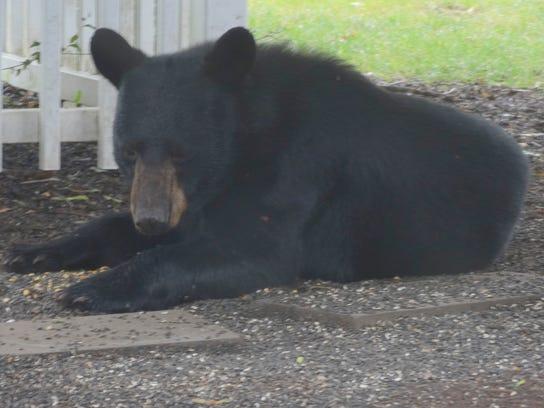 Bear Gazing