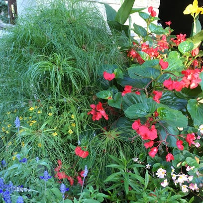 Hoosier Gardener: New papyrus variety is light and airy with strong stem