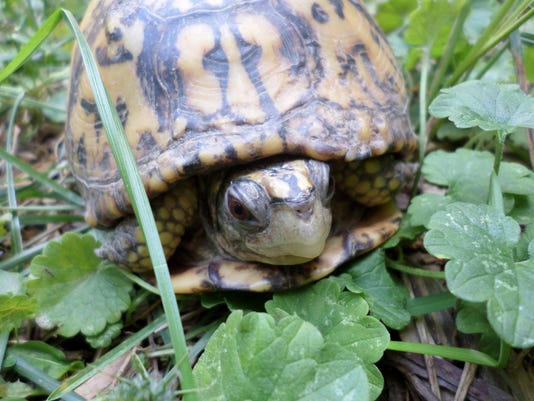 Mounds Park Box Turtle 2.JPG