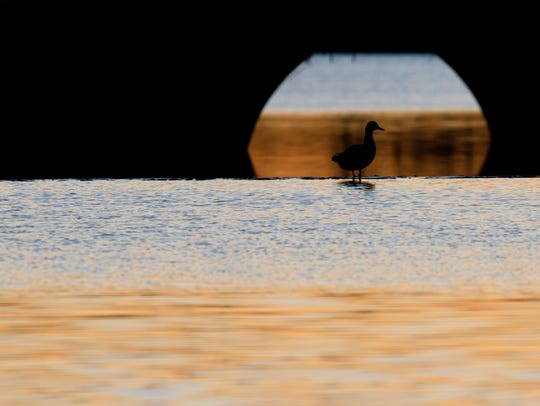 A duck wades at Blount Cultural Park in Montgomery,