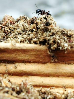 A carpenter ant walks on wood damaged by carpenter ants.