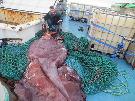 New Zealand Colossal Squid