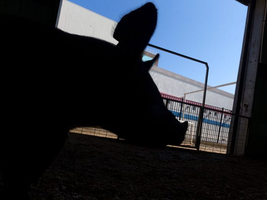 A pig heads back to it's pen after being judged Wednesday