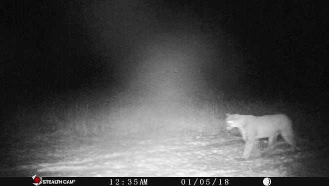 A cougar is shown on a trail cam On Jan. 5 near Rosendale in Fond du Lac County