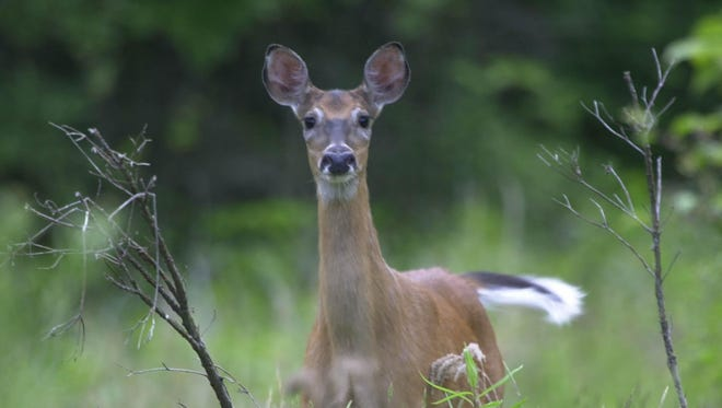 A Laurel man faces antlerless deer hunting violation charges.