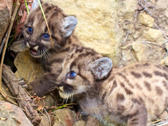 These two new mountain lion kittens have been dubbed