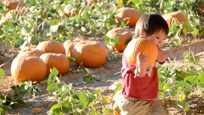 Ryan Baldwin, 2, from Buckeye, walks back to his parents carrying the pumpkin he selected at the Pumpkin and Chili Festival at Schnepf Farm in October 2014.