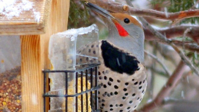 A bird of a different feather, the Flicker is one of the most stunning to photograph, but members of the Lincoln County Bird Club will be looking for red-headed woodpeckers.