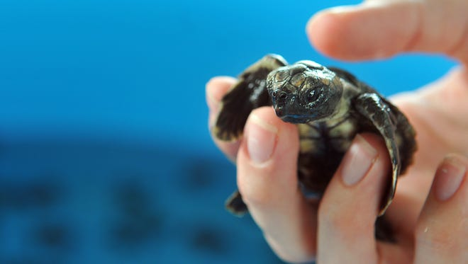 """The Brevard Zoo is rehabilitating 74 miniature """"washback"""" baby turtles left stranded and helpless by Hurricane Nicole's waves and wind."""