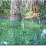 Cyanobacteria bloom in Florida