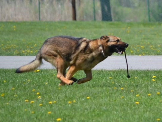 Police dog Reagan, who retired from the Town of Poughkeepsie