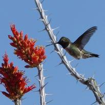 Scott: Budding ocotillos signal hummingbirds' return