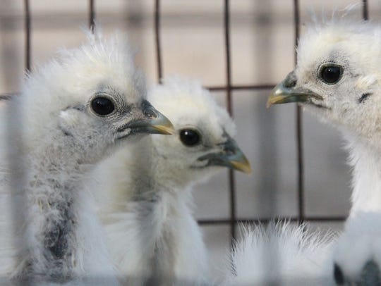 Furry chickens called Silkies are offered for sale