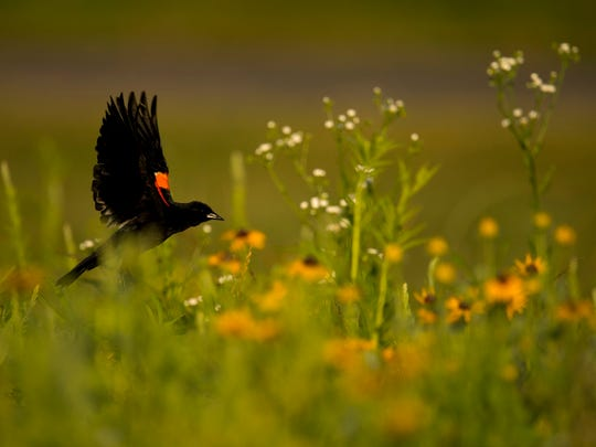 A Red-Winged Blackbird alights from its Black-eyed