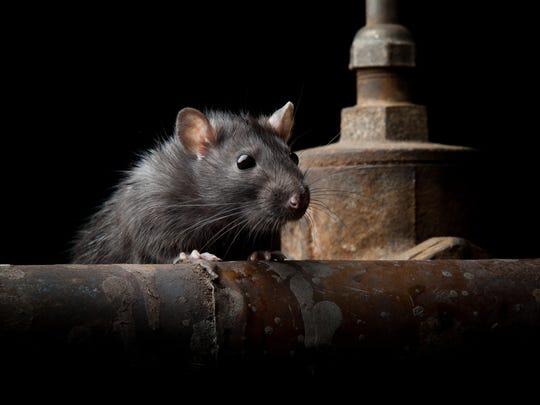 Wild rat file photo.