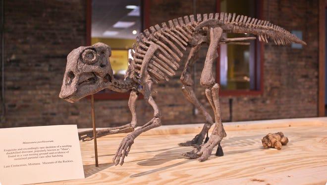 Maiasaura Peeblesorum, exceedingly rare skeleton of a nestling, duck-billed dinosaur. From Museum of the Rockies, Montana.
