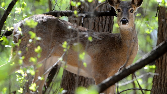 A doe pauses in the trees at Tuthill Park on Saturday, April 7, 2012. (Jay Pickthorn/Argus Leader)