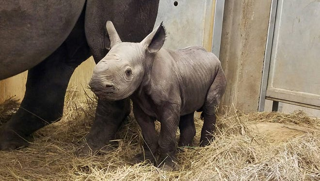 Baby Rhino born at the Great Plains Zoo on Monday, September 12.