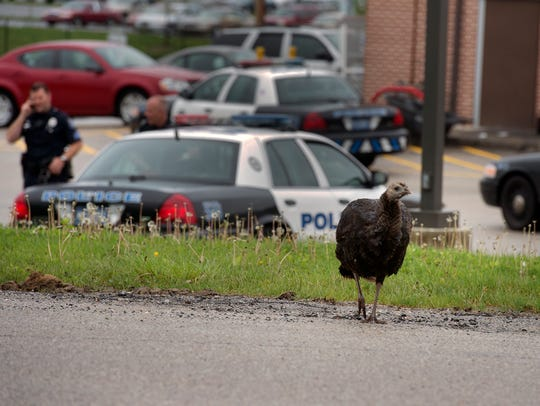 A turkey walks away from Rutters on Richland Avenue
