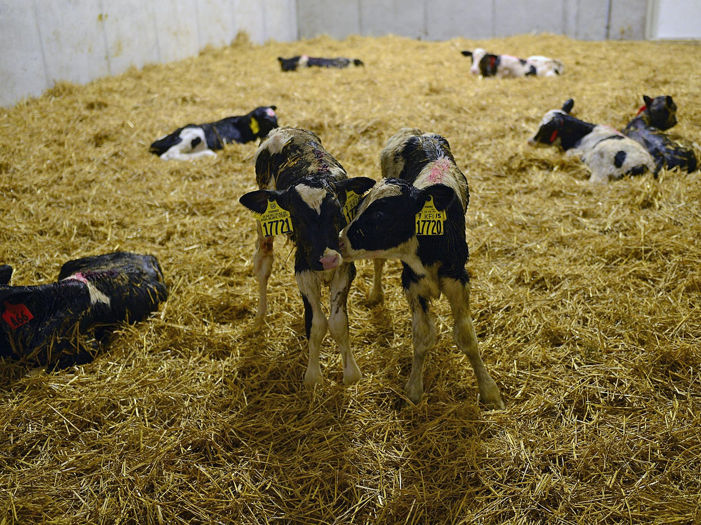 Twin calves at the Kinnard Farms Inc. expansion site