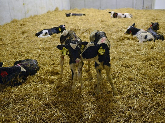 Twin calves at the Kinnard Farms Inc. expansion site in the town of Lincoln in Kewaunee County on.