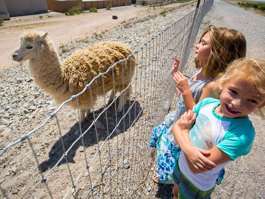 7-year-olds Tayler Straetz, center, and Chloe Dutton, right, have fun looking at one of three alpacas at the Las Cruces Dam, May 27, 2016. The alpacas were there to protect from coyotes the 40 goats at the dam placed there for weed and vegetation control by the City of Las Cruces.