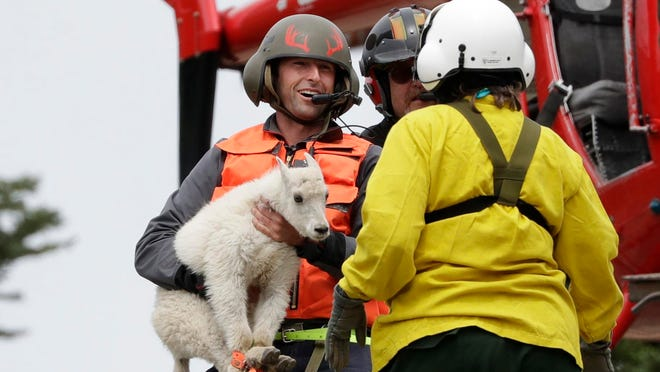 """Derrick Halsey, a wildlife capture specialist known as a """"mugger,"""" hands off a kid mountain goat after airlifting it and two others from a remote area of Olympic National Park, near Port Angeles, Wash."""