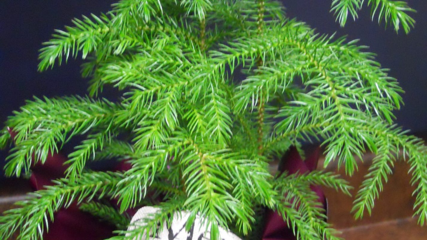 And information network araucaria heterophylla norfolk pine - And Information Network Araucaria Heterophylla Norfolk Pine 66